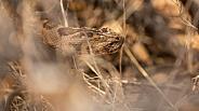 Great Basin Rattlesnake, Crotalus oreganus lutosus
