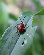 Red Lily Leaf Beetle