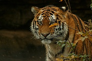 Amur Tiger Looking Out From Behind Bush