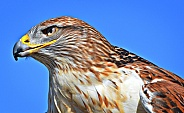 Hawk - Portrait of a Ferruginous Hawk