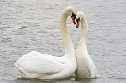 Swans Performing Courtship Ritual