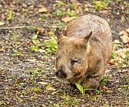 Adorable wombat marsupial