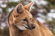 Maned Wolf Side Profile