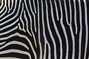 The stripes of a Zebra