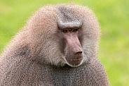 Male Hamadryas Baboon Close Up