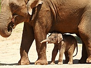 Asian Elephant Calf