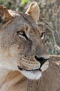 Lioness (Panthera leo) Botswana