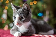 Gray and White Christmas kitten