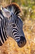 Zebra (wild)