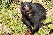 Andean Bear Full Body