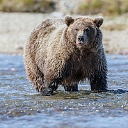 Grizzly Bear at Alaska