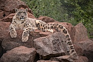 Snow Leopard Full Body Lying On Rocks