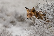 Red fox in wintertime