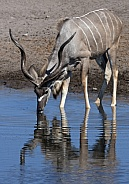 Kudu - Etosha National Park - Namibia