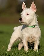 West Highland Terrier Cross