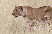 Lioness - Etosha National Park - Namibia