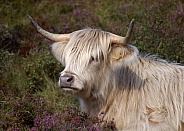 White Highland Cow
