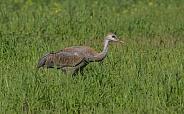 Juvenile Sandhill Crane Standing, Walking