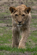 Young male lion