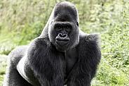 Western Lowland Gorilla Standing