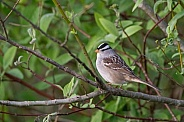 White-crowed Sparrow