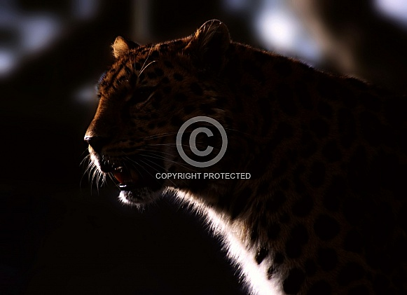 Leopard Twilight