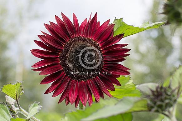 Moulin Rouge Sunflower in Bloom