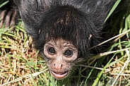 Baby Columbian Spider Monkey