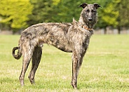 Rough-Coated Lurcher