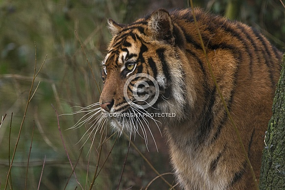 Sumatran Tiger In Natural Environment Side Profile
