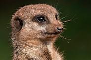Meerkat Face Shot Close Up