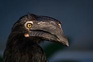 black hornbill