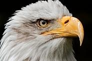 Bald Eagle Face Shot Close Up