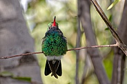Hummingbird - Broad-billed Hummingbird (Male)