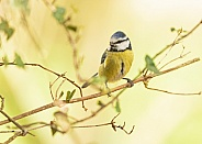 Blue Tit in Leaves