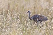 Juvenile Sandhill Crane in a Barley Field