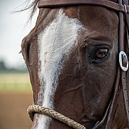 Racetrack Outrider Horse Close-up