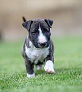 Miniature bull terrier puppy running in the grass