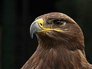 Close up of a golden eagle