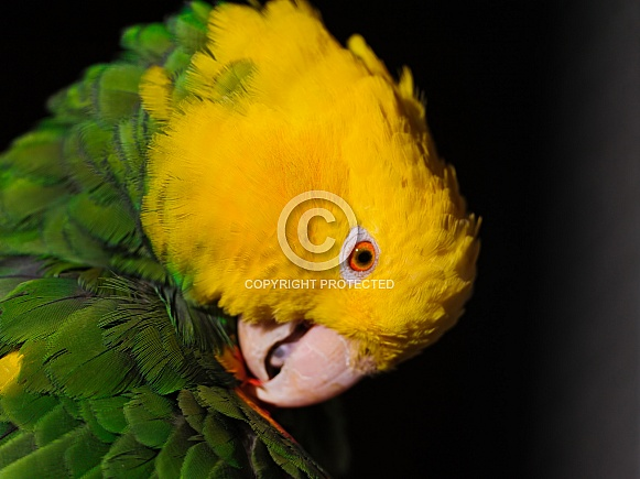 Double yellow headed amazon