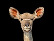 Female Kudu Portrait