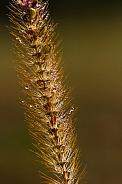 Gras stem