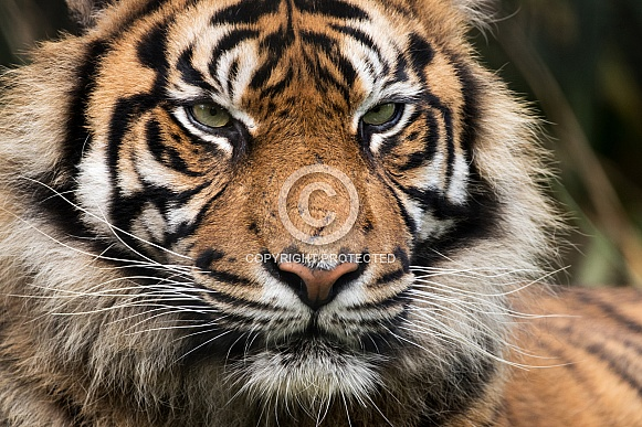 Sumatran Tiger Close Up Facial Shot