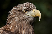 White Tailed fish Eagle