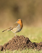 European Robin on a Molehill
