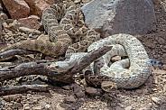 Santa Catalina Rattlesnakes