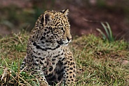 Jaguar Cub Close Up