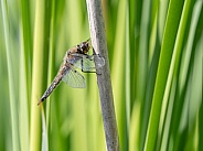 Four Spot Skimmer Dragonfly in Alaska