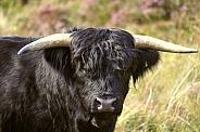 Black Highland Cow