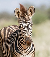 Juvenile Burchell's Zebra